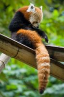 Red Panda II by darkcalypso