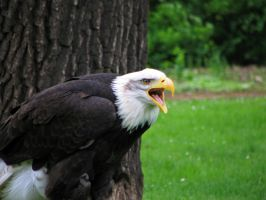 eagle 02 by Pagan-Stock