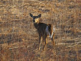Fluffy Tailed Doe by natureguy