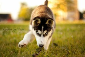 Puppy Siberian Husky by JonneCat