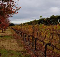 Autumn In The Vineyard by MissSpocks