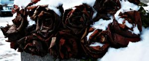 Frozen roses by Alchemija