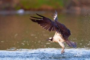 Osprey-Splash by JestePhotography