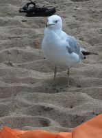 sea gull by K8kate160