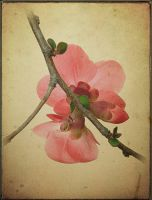 Quince Blossom by fotocali