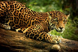 The Intensity of Jaguar Eyes by NaturePunk