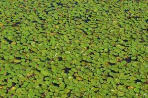 Pads at the swamp by Tailgun2009