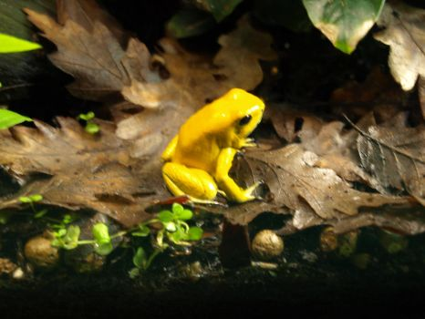 Little dart frog by gee231205