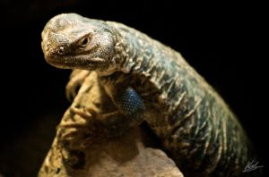 Indian Spiny-Tailed Lizard 2 by andy1349