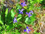violets along the river by grizzy898