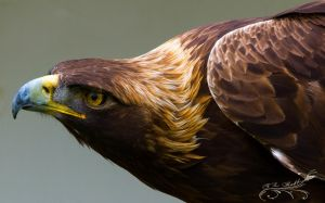Golden Eagle 11-05-2013 by Lenore49