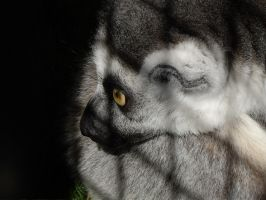 Ringtailed lemur - Beauty behind bars by decors