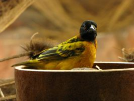 Golden-backed Weaver 01 by animalphotos