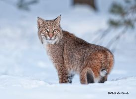 Bobcat 7 by Les-Piccolo