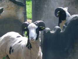 Sheep in the Cemetery by ahdser