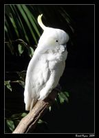 Cockatoo by DarthIndy