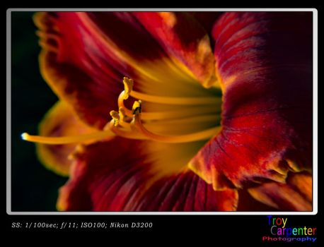 Two Toned Lily by TroyCarpenterPhoto