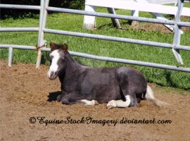 Miniature Horse 7 by EquineStockImagery