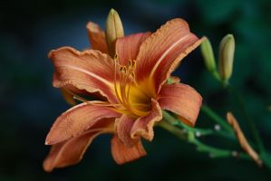 Hemerocallis by organicvision