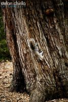 squirrel 1 2009 by chirilas