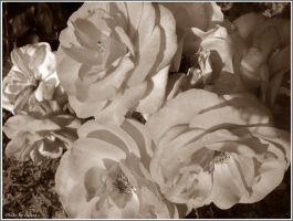 BW roses by Iuliaq