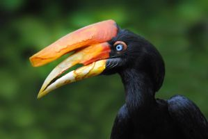 Rhinoceros Hornbill by SarahVlad