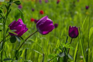 13-05 tulips #4 by evionn