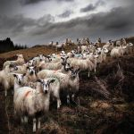 Staring Sheep - Road to Ayr by Coigach