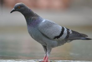 Pigeon 3 by cendredelune