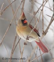 Female Northern Cardinal by arcadian7