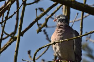 Pigeon Spotted 2 by sockhiddenunderarook