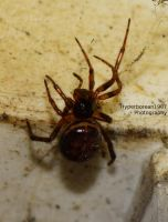 Steatoda bipunctata AKA false widow 4 by Hyperborean1987