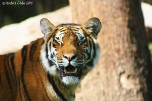 Tigre by diabolumberto