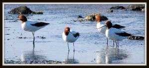 Red-necked Avocets by wolftraz