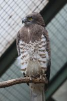 Short-toed Snake Eagle by morgh-us