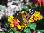Painted Lady by Chali90