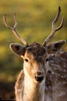 young buck portrait by camabs