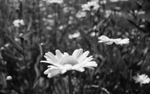Daisy Fields by Kiatography