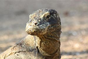 Komodo dragon on Rinca 8 by AngiWallace