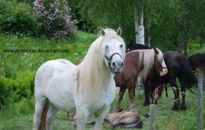 White stallion with his mares by Dolehorse