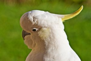 Sulphur Crested Cockatoo 180 by chezem