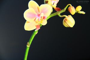 Orchid by TheMarchStudios