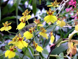 Dancing Lady Orchids by hydestock