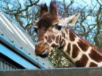 Giraffe Sticking It's Tongue Out by jessieo-photography