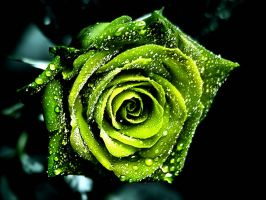 Free Dew On Green Rose Pictures Wallpaper by Angel-Skellington
