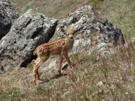 Mule Deer Fawn I by Track-Maidens