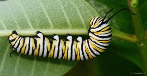 Monarch Caterpillar 2014 1 by natureguy