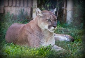 Cougar by PascalsPhotography
