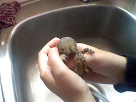 Baby squirrel by eilujenna