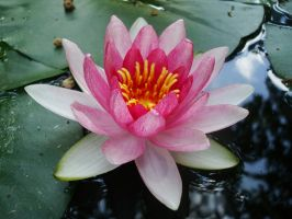 Water lily by Asheria